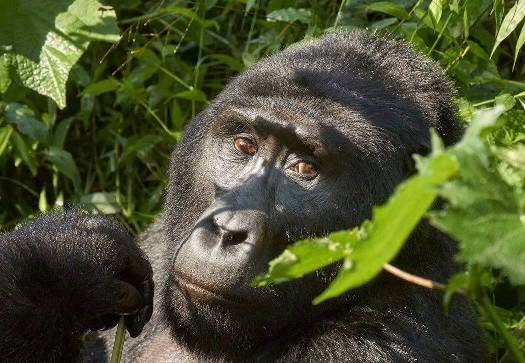 Trekking for Gorillas in Bwindi NP